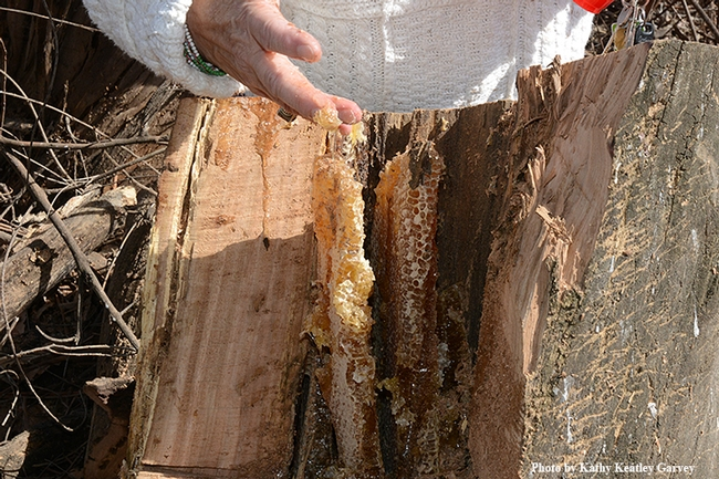 A taste of honey: Honey comb in the hollow of the tree. (Photo by Kathy Keatley Garvey)