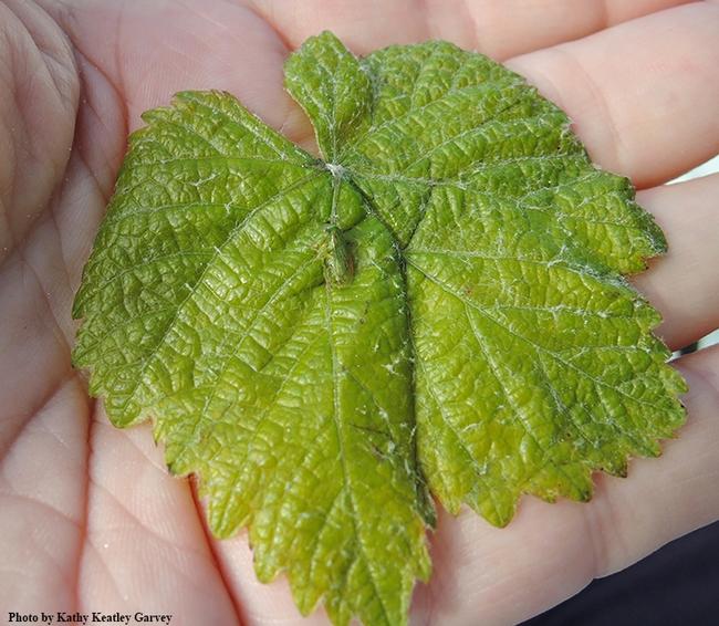 The tiny three-cornered alfalfa hopper on a grape leaf. (Photo by Kathy Keatley Garvey)
