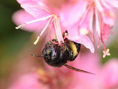 UPSIDE DOWN, a female carpenter bee gathers nectar and pollen from a gaura. (Photo by Kathy Keatley Garvey)