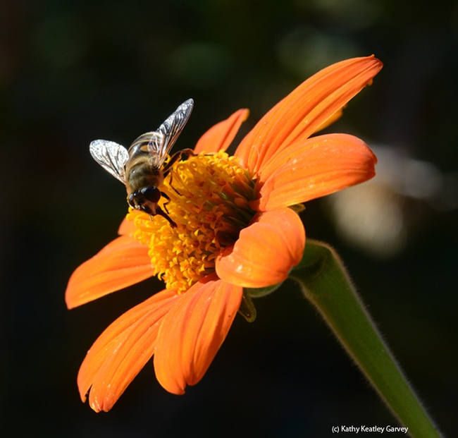 A drone fly, Eristalis tenax, sips nectar from a Mexican sunflower, Tithonia. (Photo by Kathy Keatley Garvey)