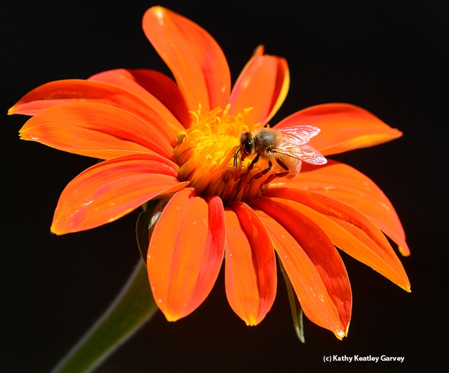 A honey bee sipping nectar from a Tithonia. (Photo by Kathy Keatley Garvey)