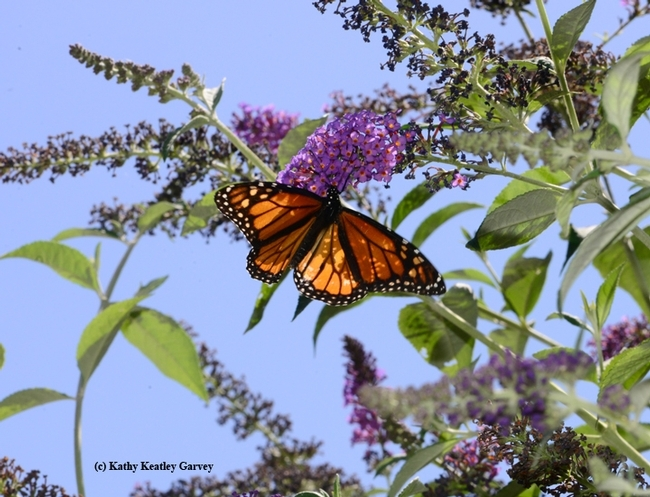A monarch butterfly on a butterfly bush in Sacramento, Calif. (Photo by Kathy Keatley Garvey)