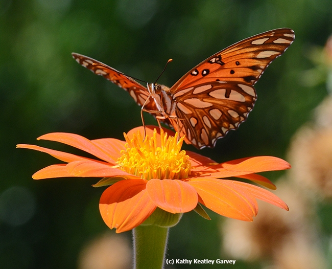 Gulf Fritillaries are still flying--and mating and laying eggs--in November. This one is nectaring on Mexican sunflower (Tithonia). (Photo by Kathy Keatley Garvey)