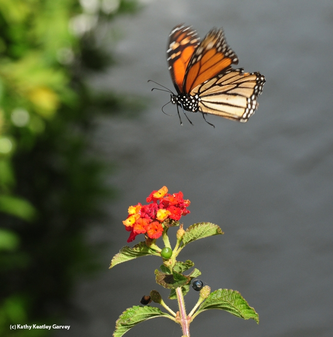 A monarch takes flight after fueling up Oct. 23 in Vacaville, Calif. (Photo by Kathy Keatley Garvey)