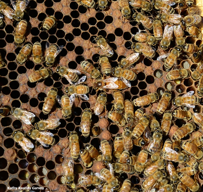 Honey bees, shown here modern day, played a role in the Revolutionary War. (Photo by Kathy Keatley Garvey)