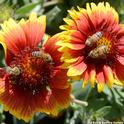 Two matched pairs of honey bees on a blanket flower, Gaillardia. (Photo by Kathy Keatley Garvey)