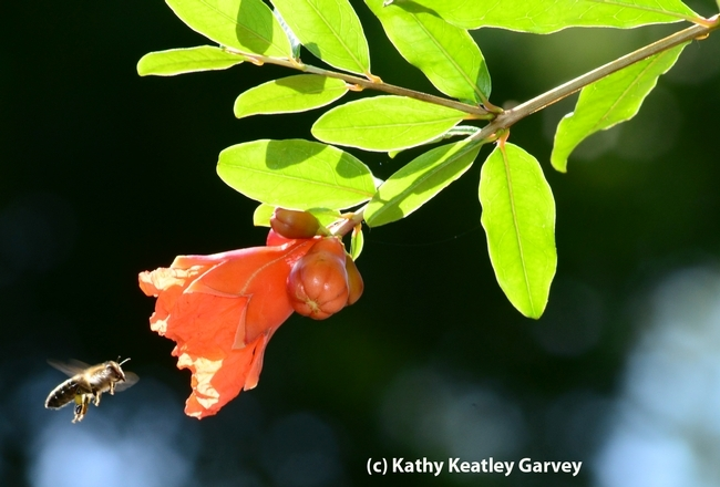 Honey bee heading toward pomegranate blossom on an 87-year-old tree. Pomegranates are among the 100 crops--from almonds to watermelon--pollinated by bees. (Photo by Kathy Keatley Garvey)