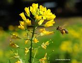 A honey bee heads toward mustard. (Photo by Kathy Keatley Garvey)