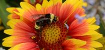 This is a native bumble bee, Bombus californicus, on blanketflower (Gaillardia). (Photo by Kathy Keatley Garvey) for Bug Squad Blog
