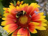 This is a native bumble bee, Bombus californicus, on blanketflower (Gaillardia). (Photo by Kathy Keatley Garvey)