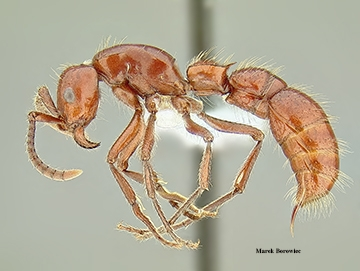 Doryline ant (army ant kin) from under a microscope. (Photo by Marek Borowiec)