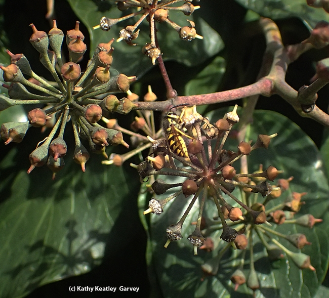 A western yellowjacket, Vespula pensylvanica, sipping nectar from Algerian ivy in Vacaville, Calif. in mid-December. (Photo by Kathy Keatley Garvey)