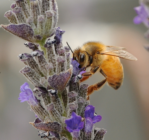 ITALIAN HONEY BEE, glowing pure gold, nectars lavender. The Italian honey bee is the most common in the United States. (Photo by Kathy Keatley Garvey)