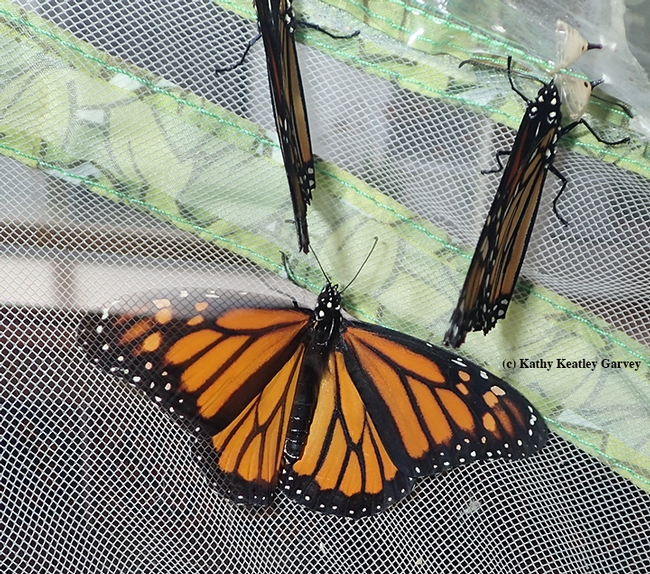 Three mighty monarchs, with five expected soon. (Photo by Kathy Keatley Garvey)