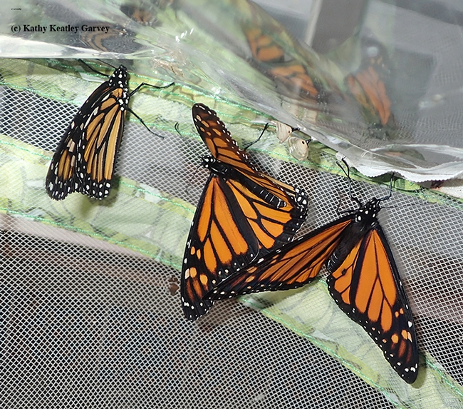 Monarchs mingling. (Photo by Kathy Keatley Garvey)