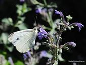 This is a cabbage white butterfly, Pieris rapae. (Photo by Kathy Keatley Garvey)