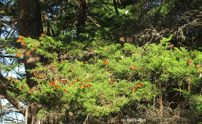 Monarchs fluttering in the warm breeze at Lighthouse Field State Park, Santa Cruz. (Photo by Rita LeRoy)