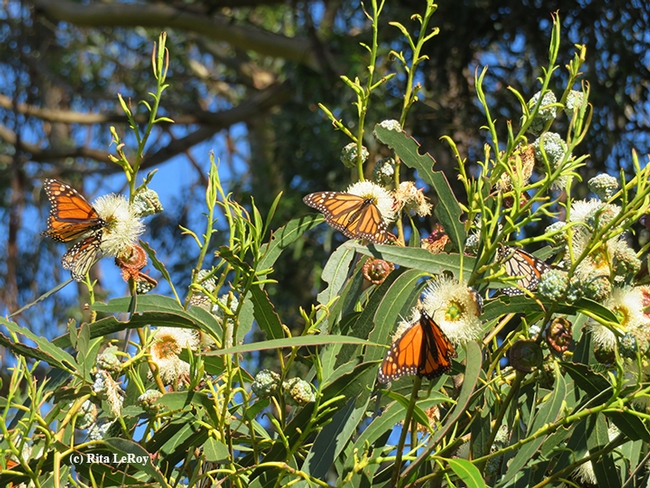 Multiple monarchs nectaring on Eucalyptus blossoms at the overwintering site in Santa Cruz. (Photo by Rita LeRoy)