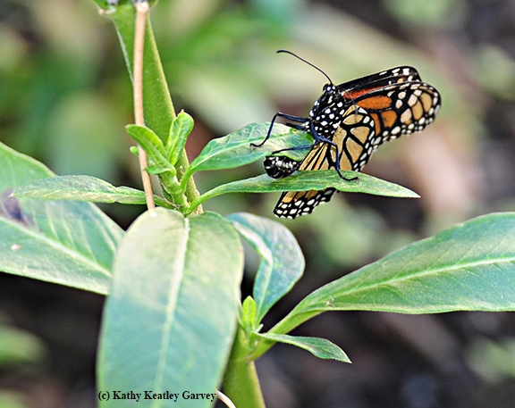 A monarch butterfly laying an egg. Monarchs lay their eggs on the underside of milkweed leaves, their host plant. (Photo by Kathy Keatley Garvey)