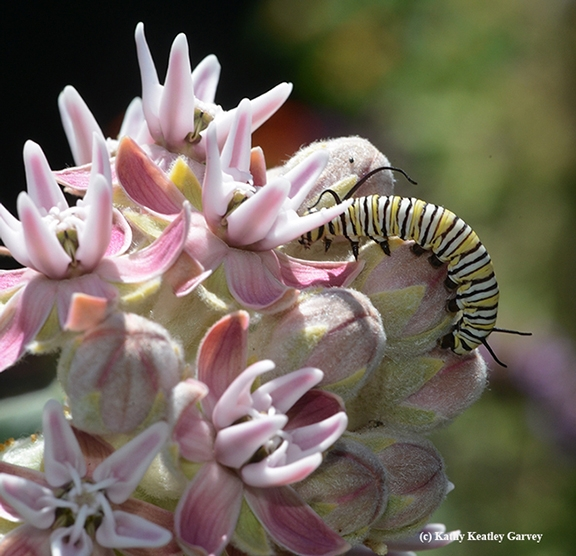 A monarch caterpillar munching away on showy milkweed, Asclepias speciosa. (Photo by Kathy Keatley Garvey)