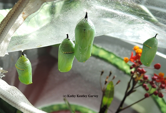 The jade-green chrysalids, rimmed in gold, look like precious jewels. (Photo by Kathy Keatley Garvey)