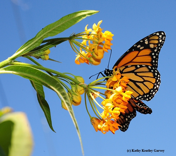 Monarch nectaring on milkweed blossoms. (Photo by Kathy Keatley Garvey)