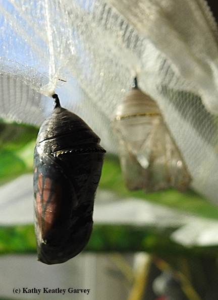 A monarch is about to eclose from this chrysalis. (Photo by Kathy Keatley Garvey)