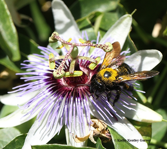 A familiar sight: a female Valley carpenter bee, covered with pollen and nectaring on a passion flower. The female is solid black, while the male of this species is a green-eyed blond. (Photo by Kathy Keatley Garvey)