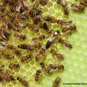 Honey bees will be one of the topics of the UC Davis Department of Entomology and Nematology's winter seminars. (Photo by Kathy Keatley Garvey)