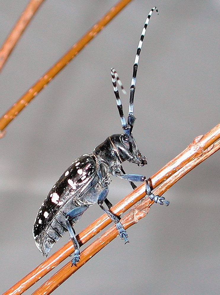 asian-longhorned-beetle-images