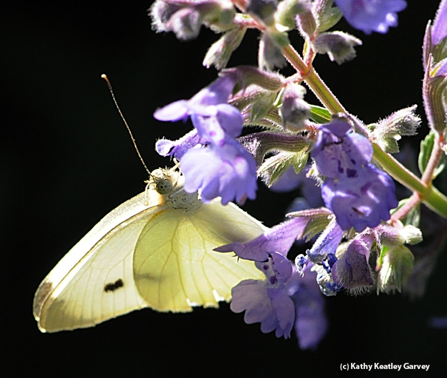 A cabbage white butterfly nectaring on catmint August. (Photo by Kathy Keatley Garvey)