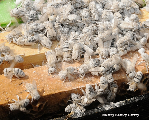 SNOW BEES? No, these bees are covered with powdered sugar to determine varroa mite infestation. Their sisters will quickly groom them. (Photo by Kathy Keatley Garvey)