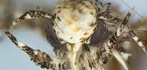 Photo of the head of a male moth, Neopalpa donaldtrumpi, courtesy of Vazrick Nazari, ZooKeys journal. for Bug Squad Blog