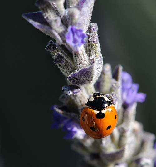 LADYBUG claims a lavender spike. (Photo by Kathy Keatley Garvey)