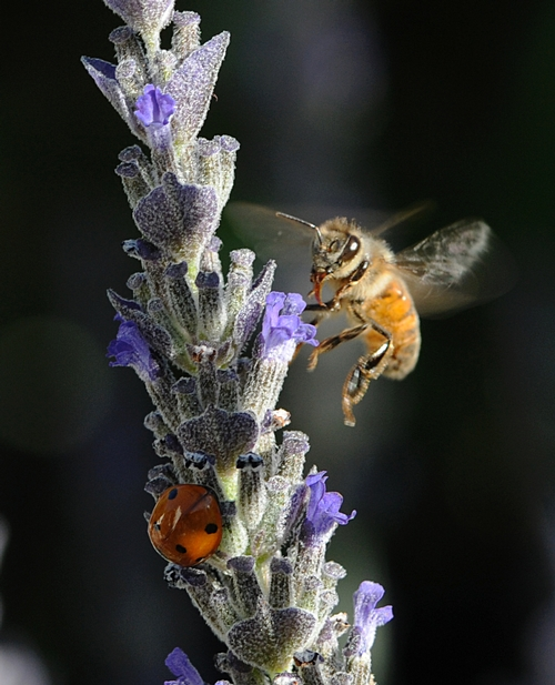 A HONEY BEE lands on the same lavender occupied by a ladybug. (Photo by Kathy Keatley Garvey)