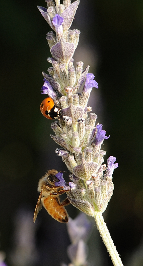 A HONEY BEE sips nectar while the ladybug searches for aphids. (Photo by Kathy Keatley Garvey)
