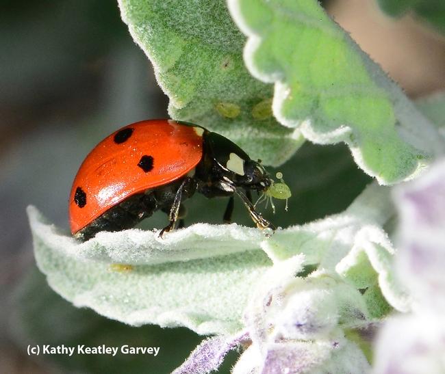 A lady beetle, aka ladybug, devouring an aphid. (Photo by Kathy Keatley Garvey)