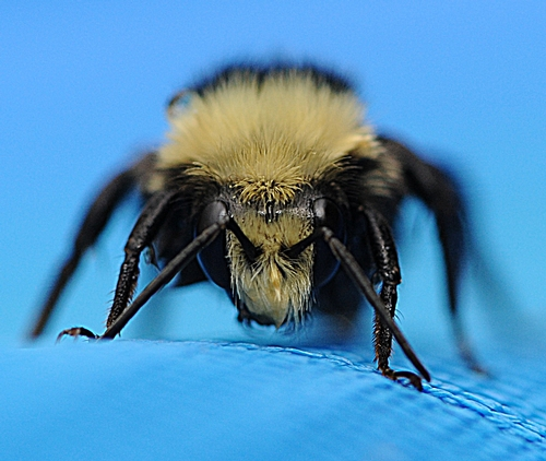ALL WET--Yellow-faced bumble bee (Bombus vosnesenskii) emerges from the pool. In a few moments it took flight. (Photo by Kathy Keatley Garvey)