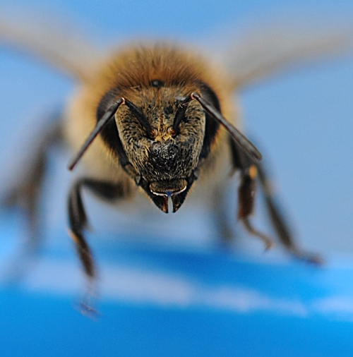 RESCUED honey bee from the pool. It survived the splash landing. (Photo by Kathy Keatley Garvey)