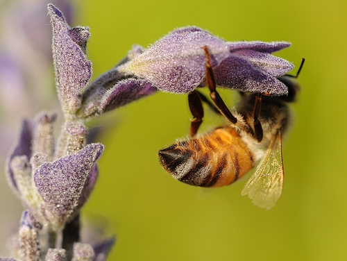 THE CLING--Foraging honey bee clings upside down on lavender. (Photo by Kathy Keatley Garvey)