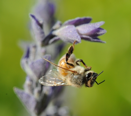 FOOT STAND--Hanging by one foot, a honey bee readies for take-off. (Photo by Kathy Keatley Garvey)