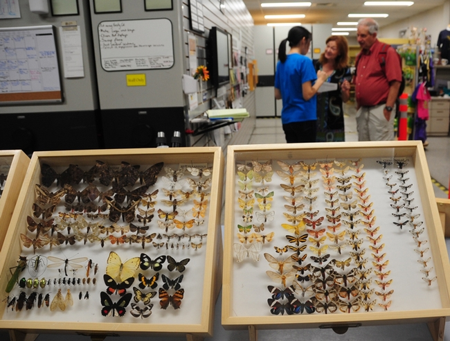 Butterfly specimens will be showcased at the Bohart Museum of Entomology. (Photo by Kathy Keatley Garvey)