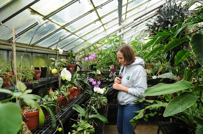 Sue Bohannan of Fairfield examines plants in the Botanical Conservatory. She was at the UC Davis Biodiversity Museum Day to lead a Solano County 4-H STEM Project. (Photo by Kathy Keatley Garvey)