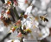 During a sun break on Feb. 12, 2017, a  pollen-laden honey bee heads for more almond blossoms in Benicia. (Photo by Kathy Keatley Garvey)