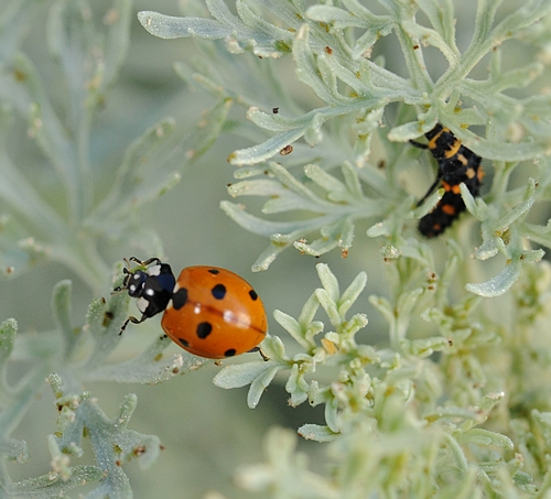 ADULT LADYBUG forages for aphids on a silvery-leafed shrub, Artemisia. A ladybug larva is at the far right. (Photo by Kathy Keatley Garvey)