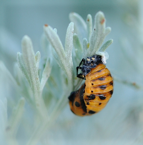 PUPA of a ladybug on the silvery-leafed shrub, Artemisia. (Photo by Kathy Keatley Garvey)