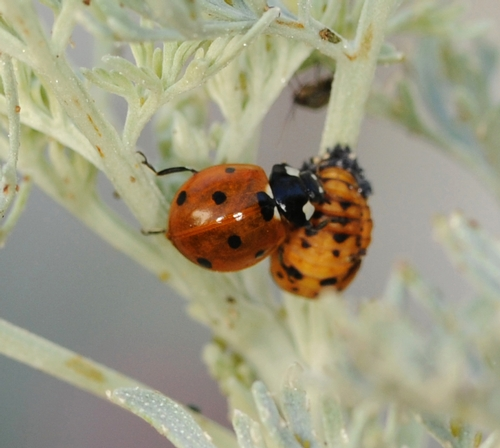 ENCOUNTER--An adult ladybug encounters a pupa, the last stage before becoming an adult. (Photo by Kathy Keatley Garvey)