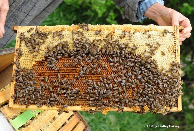 A frame from a hive. The California Honey Festival will feature honey, mead, bees, speakers, live music, a kids' zone, and arts and crafts. (Photo by Kathy Keatley Garvey)