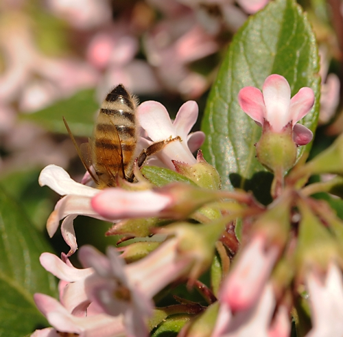 BOTTOMS UP--A honey bee dives deep into the shrub, Escallonia, in search of nectar.  (Photo by Kathy Keatley Garvey)
