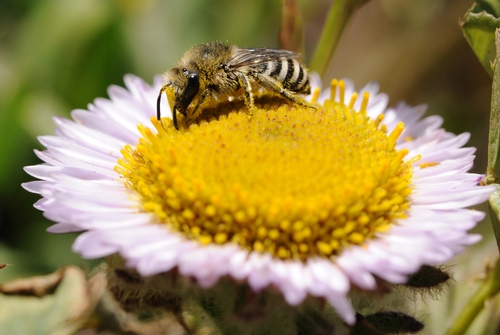 POLYESTER Bee, a female Colletes fulgidus longiplumosus, foraging on seaside daisy at Bodega Head, Sonoma County. The name,